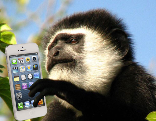 Colobus monkey with phone